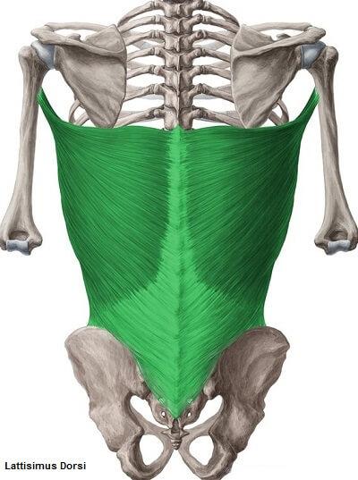 barfiks hangi kasları çalıştırır