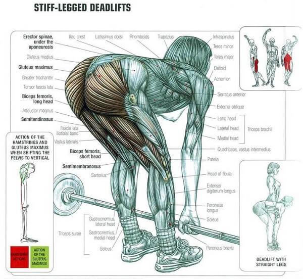 Stiff legged deadlift nereyi çalıştırır