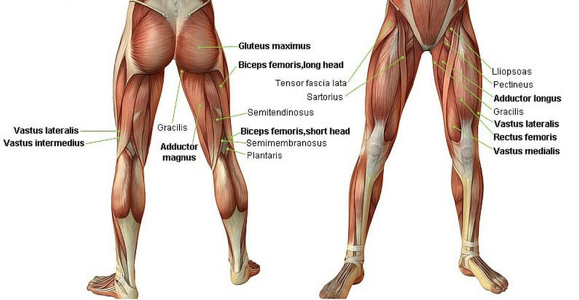 Üst bacak kas sistemi