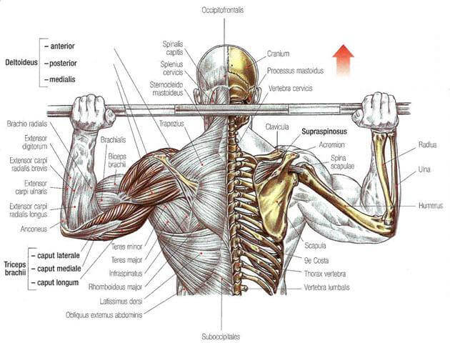 behind the neck press muscle