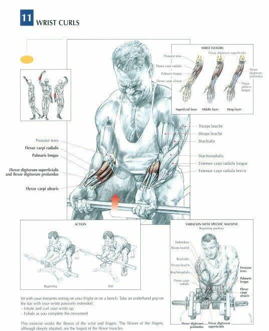 ön kol kasları