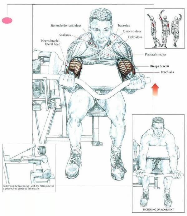 Biceps machine curl nereyi çalıştırır