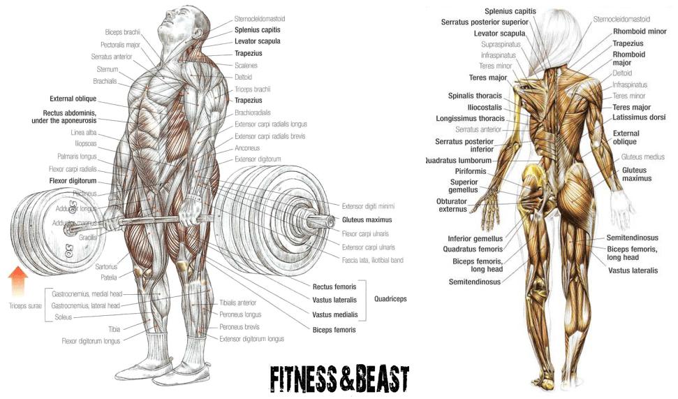 deadlift muscle