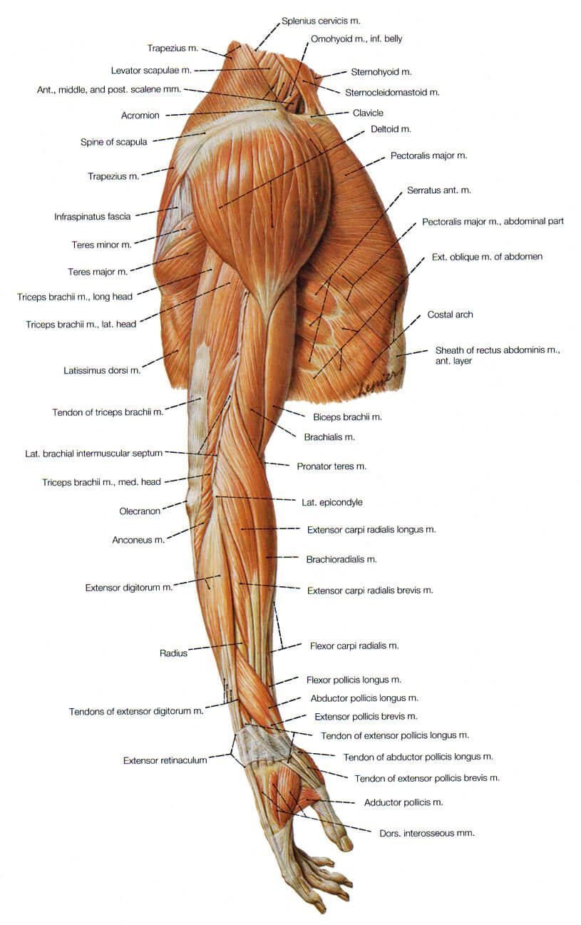 Biceps Kol Kasları
