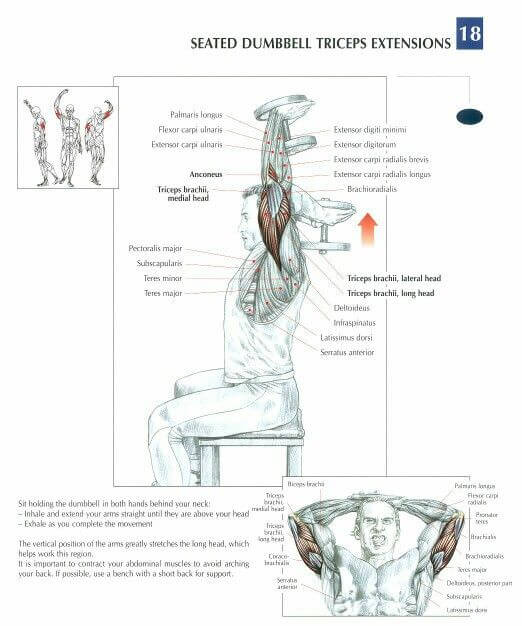 Seated Dumbbell Triceps Extension Muscle