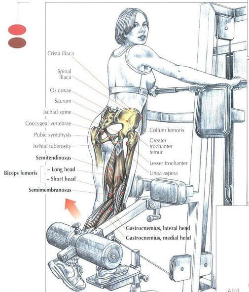 Standing leg curl muscle