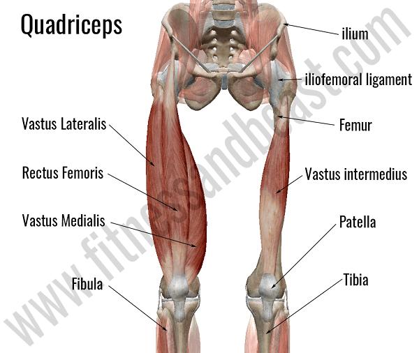 Ön bacak kasları- Quadriceps